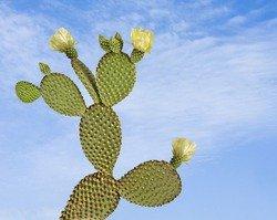 Красивый и съедобный кактус