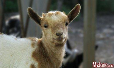 Мини-козы - друзья, приносящие пользу