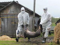 Африканская свиная чума наступает на Ригу