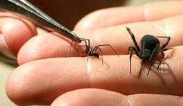 Домашние пауки: ядовитый каракурт
