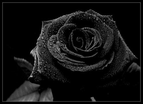 "Гадание ""Черная роза"""