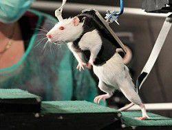 Парализованных крыс научили ходить