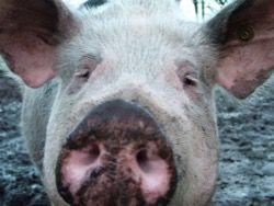 Что делать при свином гриппе?