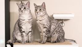 Кошка породы Египетский Мау