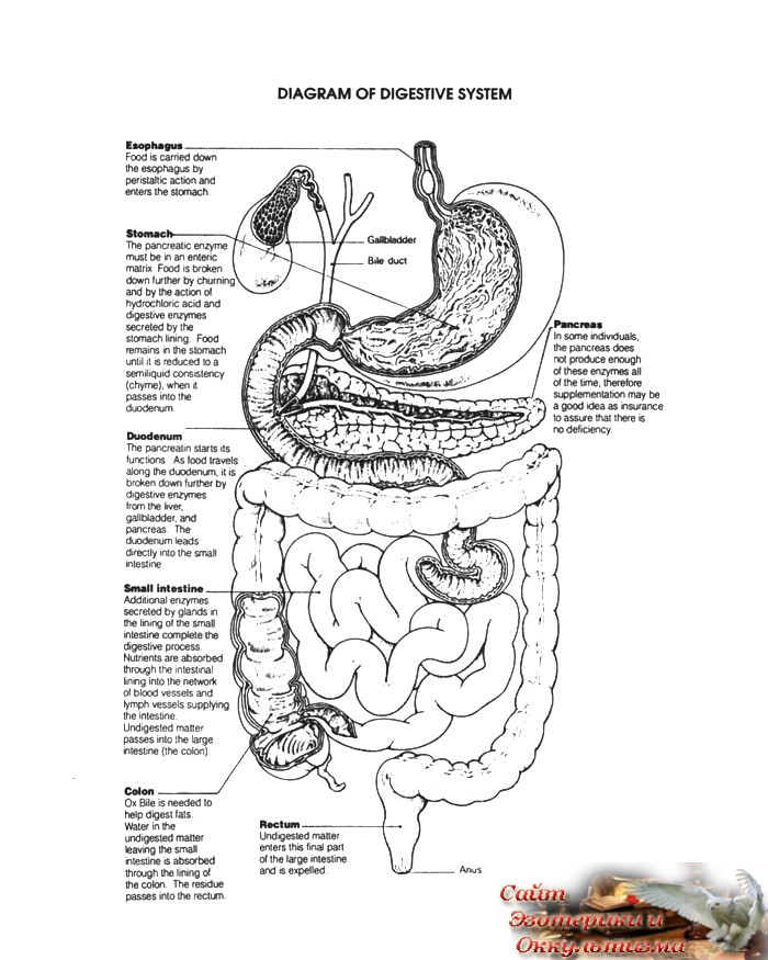 Физиология позднего приема пищи - «Эзотерика»