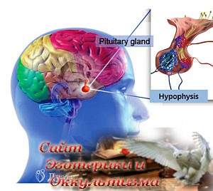 Гипофиз - железа упорных усилий - «Эзотерика»