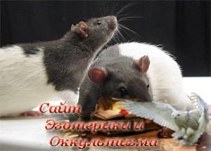 Мозг нескольких крыс соединили в сеть - «Эзотерика»