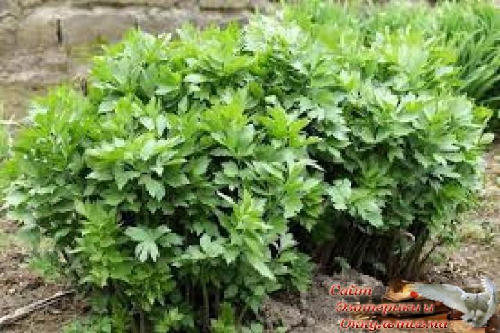 Магия растений. Любисток - укрепляющий род. Эзотерика - Живое Знание - «Эзотерика»