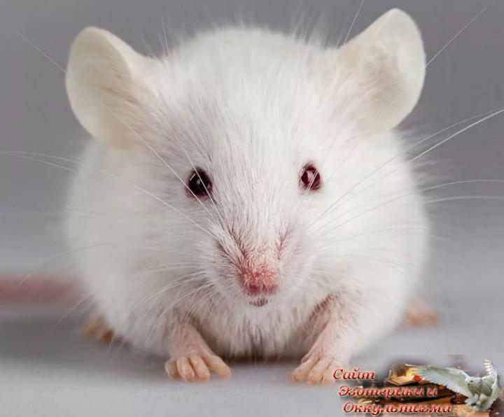 Восточный гороскоп для всех знаков на 2020 год. За удачей к Белой Крысе. Эзотерика - Живое Знание - «Эзотерика»