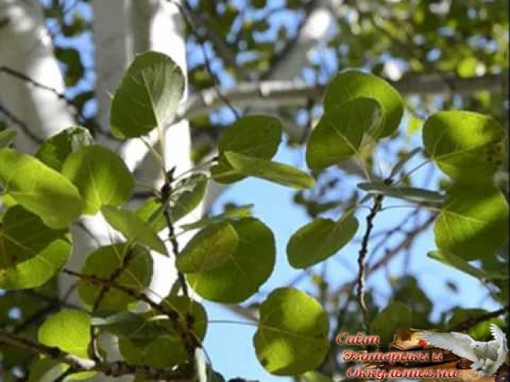 Осина - природный и доступный целитель. Лечение отваром осины. Эзотерика - Живое Знание - «Эзотерика»
